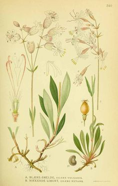 131596 Silene vulgaris (Moench) Garcke [as Silene latifolia (Miller) Britten & Rendle] / Lindman, C.A.M., Bilder ur Nordens Flora, vol. 2: t. 340 (1922-1926)