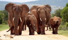 It looks as though the elephant was trying to protect her family members when she was shot.