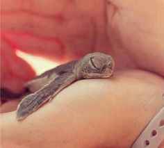 This may be the cutest sea turtle hatchling you have ever seen! …