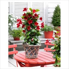 The mandevilla is known for it's velvety red blooms.  Simply beautiful!
