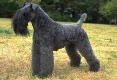 Kerry Blue Terrier are a native of County Kerry, Ireland where they were all round farm dogs. they are members of the  terrier group and were AKC recognized in 1922. They should be around 18½ inches tall at the shoulder and 33 to 40 pounds, with females slightly smaller. After 18 months the dog should be any shade of blue gray or gray blue from the deep slate to light blue gray. They have an average lifespan of 12 to 15 years.