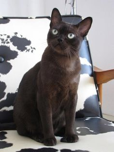 interior cat インテリア 猫  desire to inspire - desiretoinspire.net - Monday's pets on furniture - part 1