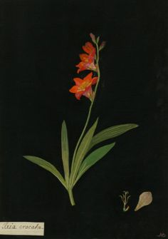 Mary Delany, Ixia Crocata collage, 1778 (source).