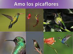 """Picaflores, hummingbird Cuenta una leyenda guaraní, que la muerte no es el final de la vida, pues el hombre, al morir, abandona el cuerpo en la Tierra pero el alma continúa su existencia.  La leyenda dice que se desprende el alma y vuela a ocultarse en una flor a la espera de un mágico ser.   Entonces, es cuando aparece el """"mainimbú"""" (nombre guaraní del Colibrí o Picaflor) y recoge las almas desde las flores, para guiarlas amorosamente al Paraíso. Esta es la razón de que vuele de flor en…"""