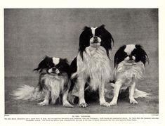Dog Lover Gifts, Dog Gifts, Dog Lovers, Japanese Dogs, Japanese Chin, Photo Print, Dog Artwork, Black And White Dog, Shih Tzu Dog