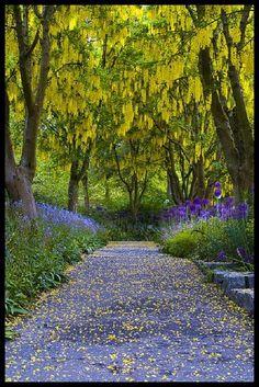 ✯ Laburnum Walk - Van Dusen Botanical Garden, Vancouver, B.C