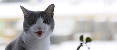 Waarom miauwt een kat? Katteneigenaren praten graag tegen hun kat en vrijwel alle katten miauwen dan terug. Zo kun je gezellig hele gesprekken voeren. Maar waarom miauwt een kat tegen je en begrijpen wij haar als ze dat doet?