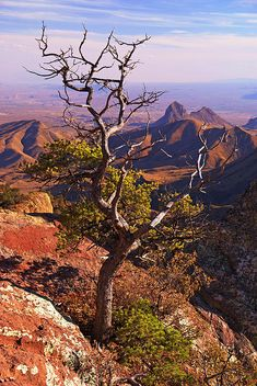 Big Bend National Park, Texas spent our honeymoon camping here. Took our picture at sunrise under this tree!