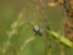 Oak's-leaf Spider • Épeire feuille-de-chêne ou Épeire des bois • Aculepeira ceropegia  #macrophotography #photoghraphy #photo #épeire #arachnide #araignée #entomology #spider #nature http://www.entomophotopassion.com