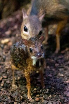 Chevrotain, smallest member of deer family