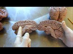 Vídeo aula neuroanatomia - córtex cerebral parte 2 - YouTube