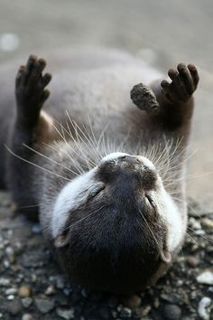 Otter playing with a rock by zoofanatic, via Flickr