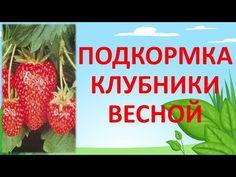 ПОДКОРМКА КЛУБНИКИ ВЕСНОЙ ДЛЯ БОЛЬШОГО УРОЖАЯ🍓🍓🍓 - YouTube Fruit Garden, Beets, Soda, Strawberry, Landscape, Plants, Youtube, Beverage, Scenery