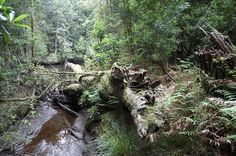 North of Strahan, Tasmania's Tarkine is a vast World Heritage-listed wilderness home to Australia's largest temperate rainforest. Think of it as Australia's Middle Earth.  #discovertasmania #tasmania #tassie #beautifuldestinations #seeaustralia #travel2next #wanderlust #travel #explore #adventure #wonderfulplaces