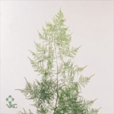 Asparagus Fern extra with Tops