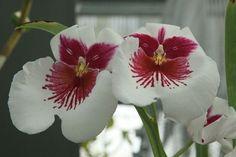 rares orchidées | Quali sono le orchidee rare - Cura Orchidee - Orchidee rare