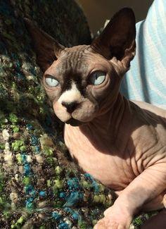 My Boy! Sphynx Cat