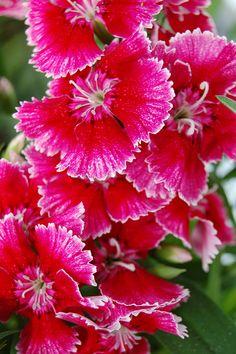 Dianthus Chiba Cherry Picotee