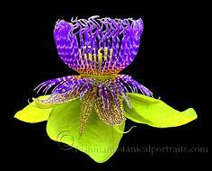 Passiflora maliformis, by David H. Fishman
