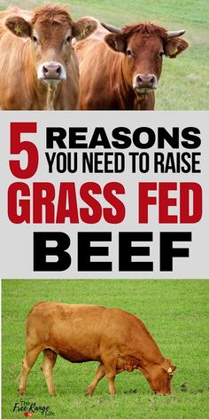 5 Reasons You Need to Raise Grass Fed Beef on Your Homestead Raising your own food is a rewarding experience that all homesteaders strive for. Here are 5 Reasons you need to raise grass fed beef on your homestead Cattle Farming, Goat Farming, Livestock, Raising Farm Animals, Raising Chickens, Raising Cattle, Mini Cows, Beef Cattle, Backyard Farming