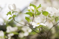 Dogwood Blossoms by Nadeen Flynn