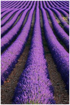 Lavender ~ Provence ~ France ~ As far as the eye can see...