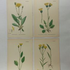 A bouquet of dandelions for mom!   #DandelionWallArt #MothersDayGifts #AntiqueBotanicalPrints #FlowersThatWontWilt #OldMapsandPrints