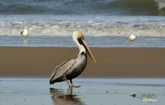 Outer Banks NC Local Artists Facebook post:   Carova Beach Pelican. Photographer credit:  OBXLove