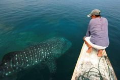 Whalesharks are back in Donsol, Philippines. Visit www.agmresort.com for details.