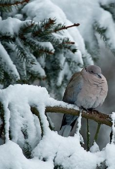 mourning or turtle dove in a snowy pine tree   bird + wildlife photography