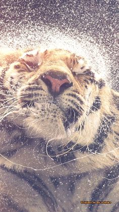 pierdere purple tiger greutate)