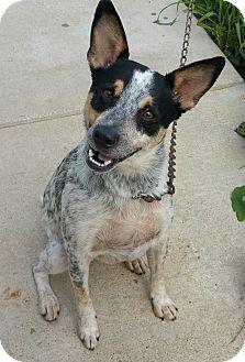 Lisbon, OH - Australian Cattle Dog Mix. Meet Levi- partially sponsored!, a dog for adoption. http://www.adoptapet.com/pet/13404678-lisbon-ohio-australian-cattle-dog-mix