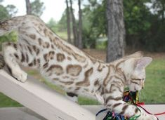 The Bengal cat. This is a cross between the domestic cat