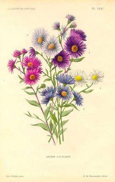 September Birth Flower - Antique print: Bouquet of Aster flowers Aster Tattoo, Aster Flower Tattoos, Flower Bouquet Tattoo, Birth Flower Tattoos, Tattoo Flowers, Draw Flowers, Wild Flowers, September Birth Flower, September Flowers