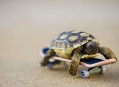 Tiny Turtle skateboarding