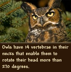 Owls can rotate their heads more than 270 degrees