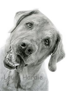 Labrador pencil drawing by Laura Hardie.  She Reeally captures the animal's personality.