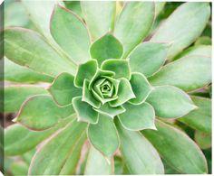 Succulent (Aeonium Urbicum), Close-up