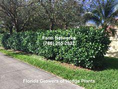Clusia Hedge South FL Wholesale Plant Nursery, Clusia, Wholesale Plants, Hedges, Landscape, Garden, Scenery, Garten, Landscape Paintings