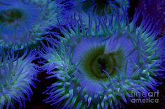 beautiful blue anemone - Google Search--fineartamerica.com