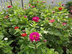 Zinnias in vegetable garden, June 2012