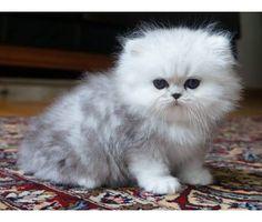 silver shaded kitten ♥♥♥
