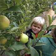 How to Grow Honey Crisp Apples From Seeds | eHow