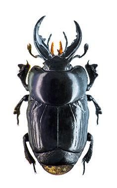 Oxysternus maximus