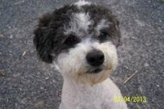 Farkle is an adoptable Poodle Dog in Rutledge, TN.  Farkle is a smart boy and eager to learn.  HE came out of a bad situationa and is ready to make up for lost time with someone who loves him.  For mo...