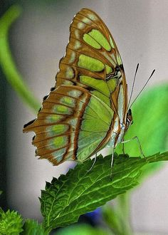 """Green Goddess"", a Malachite butterfly resting on a green leaf - photo by Manuel Balesteri Beautiful Bugs, Beautiful Butterflies, Butterfly Kisses, Butterfly Wings, Beautiful Creatures, Animals Beautiful, Flying Flowers, Butterfly Species, Moth Caterpillar"