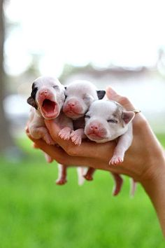 Pap puppies