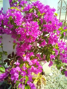 This is the bougainvillea's time - dry season in Trinidad