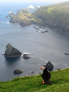 Hermaness Puffin admiring the view - Hermaness, Northern Shetland Islands, Scotland -- love this little puffin.Puffin admiring the view - Hermaness, Northern Shetland Islands, Scotland -- love this little puffin. The Places Youll Go, Places To See, Thinking Day, All Nature, Mundo Animal, Scotland Travel, Scotland Uk, British Isles, Wonders Of The World