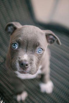 Pocket Pitbull puppy